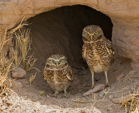Birds Of The Anza Borrego Desert Region
