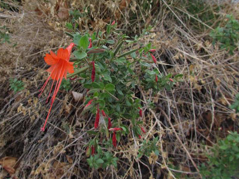 california fuchsia by marcy yates
