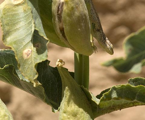 Desert Milkweed Asclepias Erosa