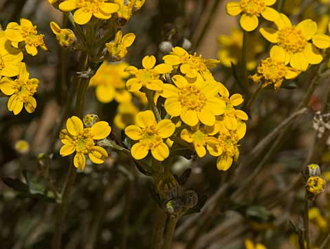 Long-Stem Golden-Yarrow, Eriophyllum confertifolium