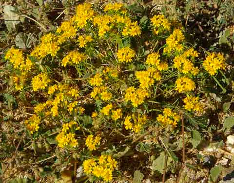 Closeup of a clump of yellow chinch weed flowrers