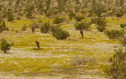 Photo of a field with the yellow flowers of Chinch Weed following a summer rain