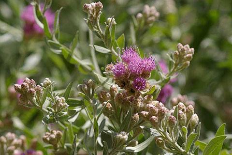 Arrow Weed Pluchea Sericea