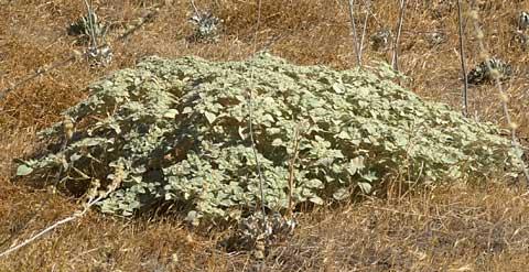 Doveweed Or Turkey Mullein Croton Setigerus