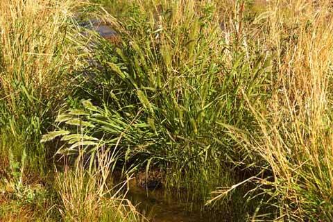 Ditch Beard Grass Polygon Interruptus