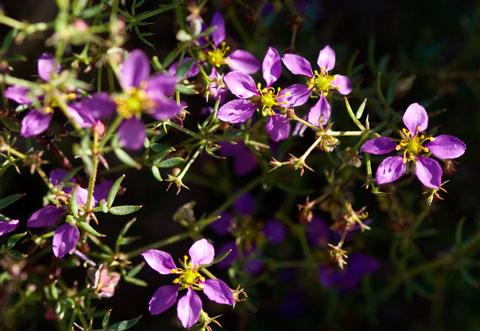 California Fagonia Fagonia Laevis