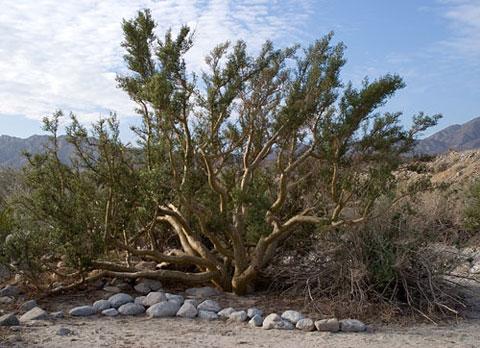 Plants Of The Anza Borrego Desert Central Region