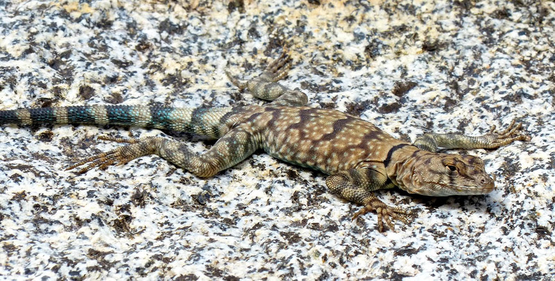 banded rock lizard in cool canyon anza borrego by joy ziemnick