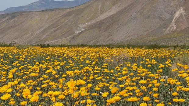 Anza borrego desert wildflowers update along henderson canyon road photo by fred melgert 3102017 mightylinksfo
