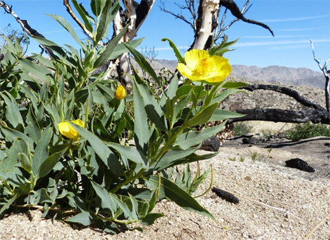Bush Poppy, Dendromecon rigida