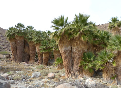 California fan palms, washingtonia filifera