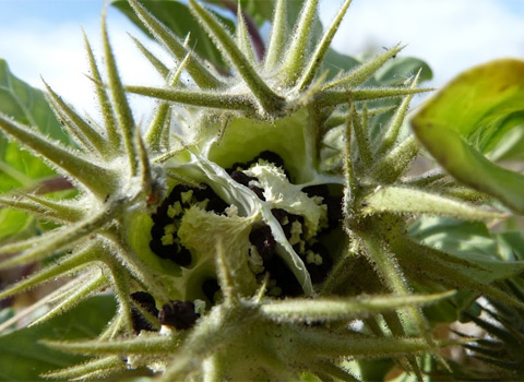 Desert Thorn-Apple, Datura discolor