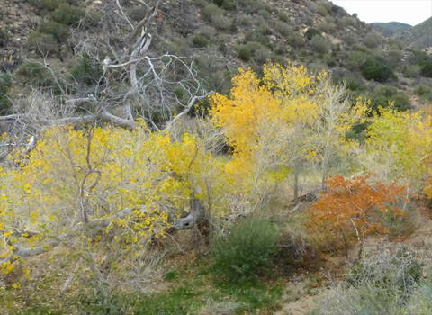 Fremont cottonwood, western sycamore, willow