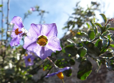 Parish's purple nightshade, Solanum parishii