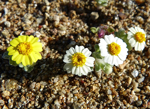 anza borrego desert flowers wallaces woolly daisy fred melgert