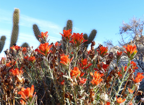 Woolly Indian Paintbrush, Castilleja foliolosa