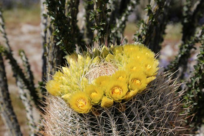 Anza-Borrego Desert Wildflowers Update