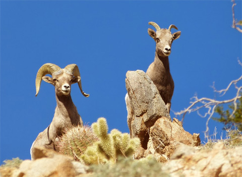 bighorn sheep anza-borrego melgert
