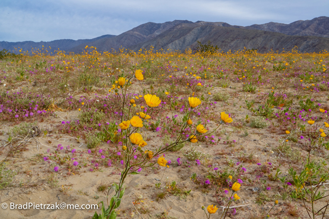 Anza-Borrego Desert Wildflowers Update on bing maps and directions, yellow pages find people, internet maps and directions, maps maps and directions,