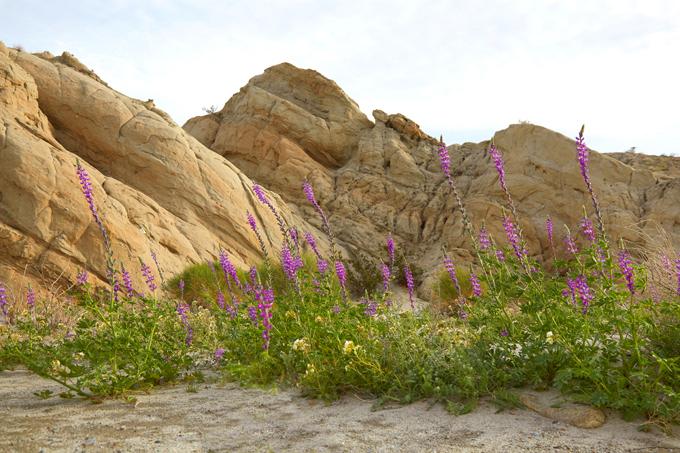 Anza Borrego Desert Wildflowers Update
