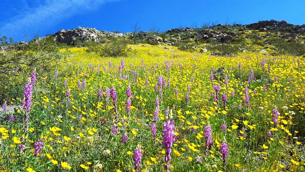 Anza borrego desert wildflowers update bighorn sheep surrounded by spring flowers photo by john zarem 3192017 mightylinksfo