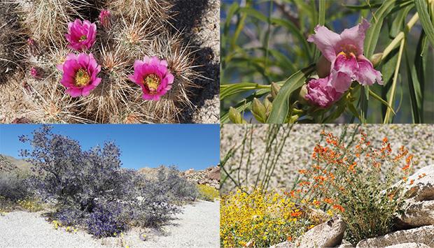 Anza borrego desert wildflowers update flowers from today in rockhouse canyon by fred melgert englemanns hedgehog cactus desert willow indigo bush globe mallow 3272017 mightylinksfo