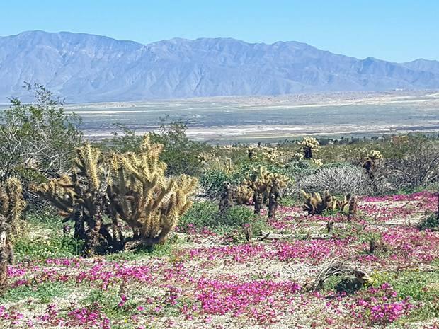 Anza borrego desert wildflowers update desert dandeliona along borrego springs road by tesa silvesre mightylinksfo