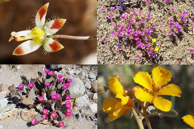 Anza borrego desert wildflowers update flower shots from rockhouse canyon by fred melgert 3192017 desert threadplant purplemat beavertail cactus desert senna mightylinksfo
