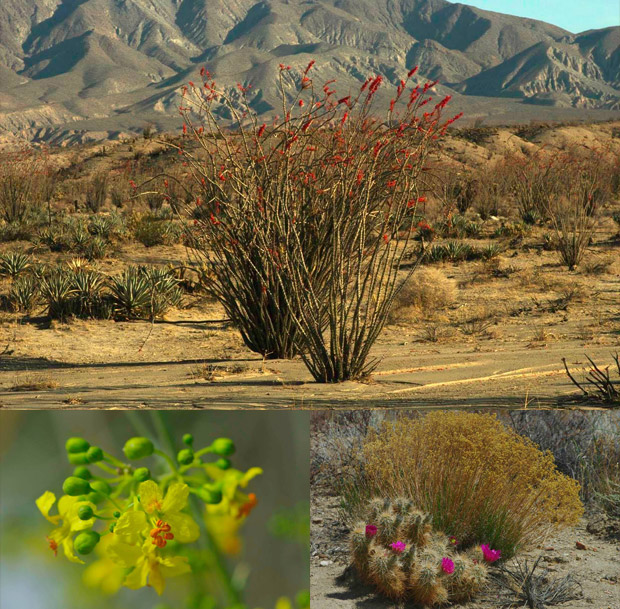 Anza Borrego Desert Wildflowers Update