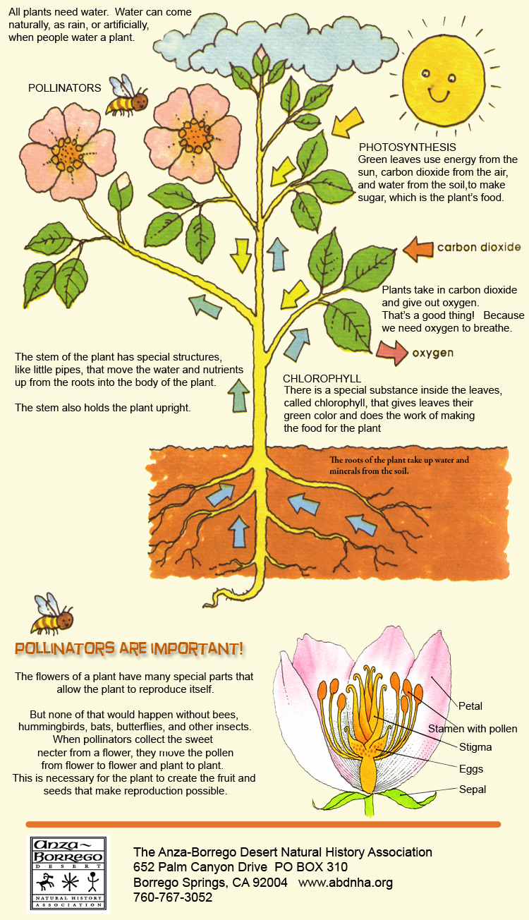 biology plants adaptations to the environment Serpentine soils and plant adaptations other plants adapt to a low calcium environment hyperaccumulation - is the adaptation by plants to high heavy metals such as nickel found in serpentine soils.