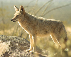 Anza Borrego Desert Animals For Kids