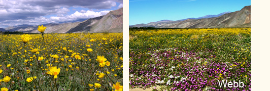 borrego springs wildflowers sam webb photo