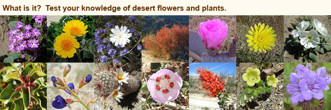 flowers and plants of the anza-borrego desert