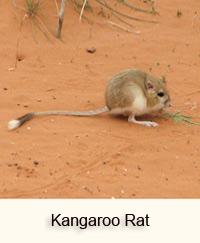 What Foods Do Kangaroo Rats Eat